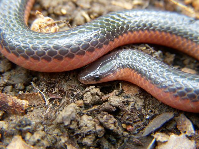 photoWestern Worm Snake