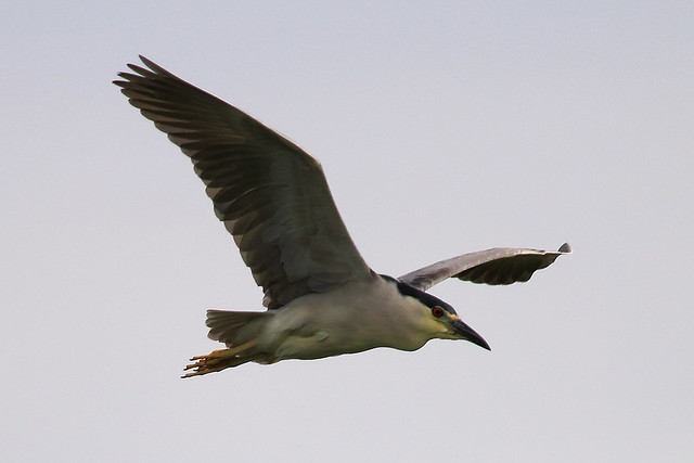 Night heron in flight - photo#32