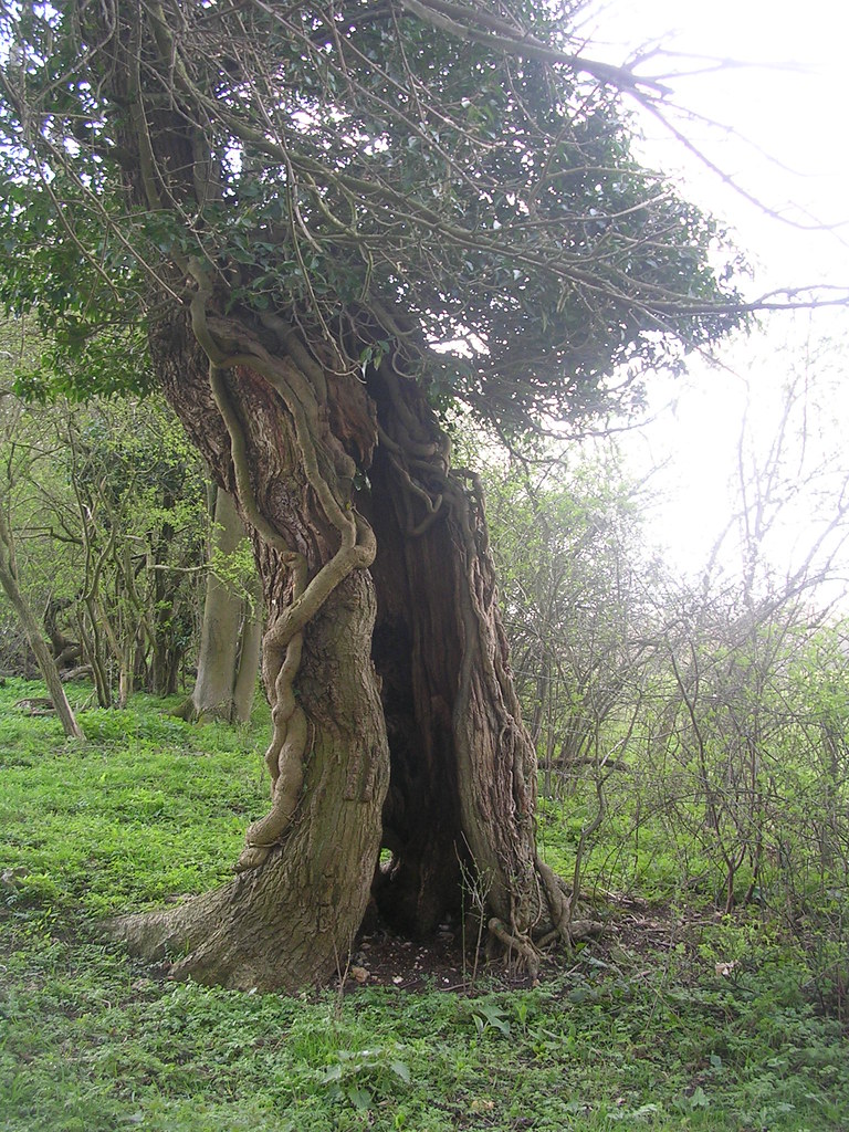 gnarled tree Upper Warlingham to Hayes