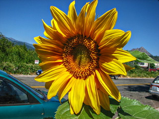 Sunflower by the street