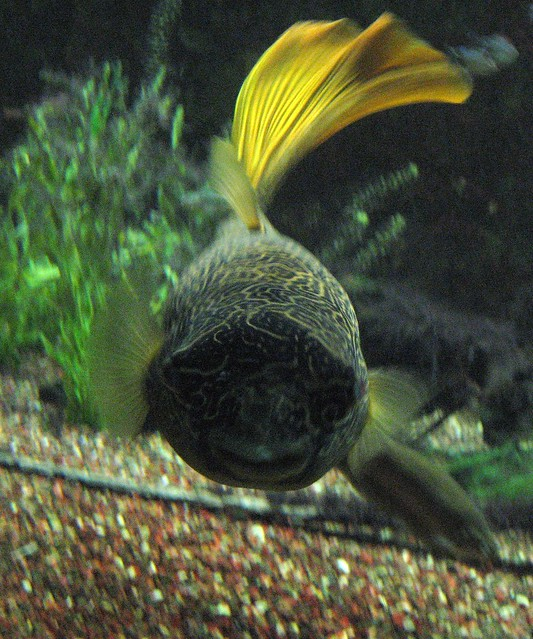 Congo River Puffer Flickr - Photo Sharing!
