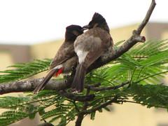 Do birds kiss? - (Bird watching - 4)