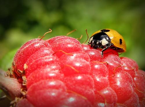 red summer orange macro green nature canon suomi finland insect berry maria country images ladybird raspberry ladybug sue kesä kerimäki luonto laakso punainen oranssi hyönteinen vadelma insectphotography canonpowershota710is sue323