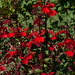 Small photo of Lobelia Fan Deep Red