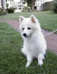 dog breed, animal, dog, japanese spitz, canaan dog, pet, norwegian buhund, volpino italiano, german spitz, white shepherd, berger blanc suisse, kishu, german spitz mittel, carnivoran, american eskimo dog, samoyed,