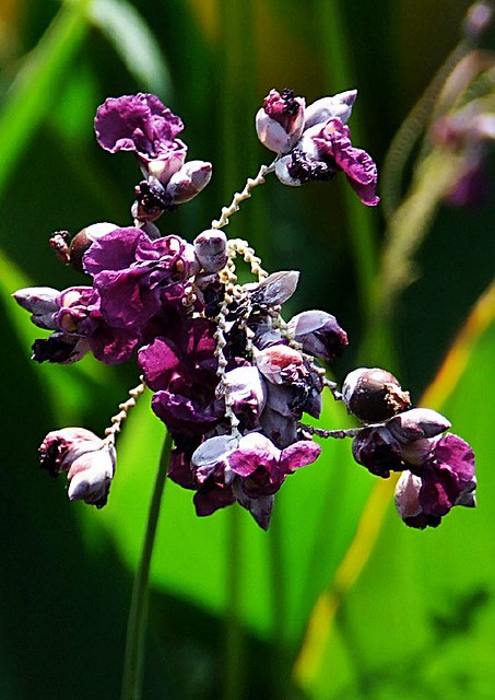 Lychee Flower  HBW    ...