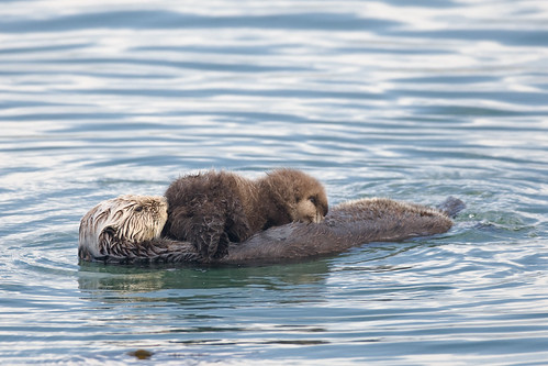 This image is honored as Wikipdia Picture of the Day 28 July 2009 (Best of 3) Sea Otter (Enhydra lutris) mother with nursing pup in the Morro Bay harbor