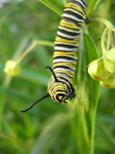Monarch Caterpiller eating