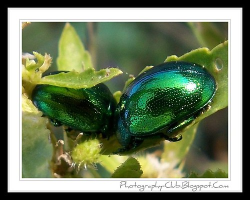 Green Jewel Beetles