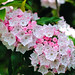 Small photo of Mountain Laurel