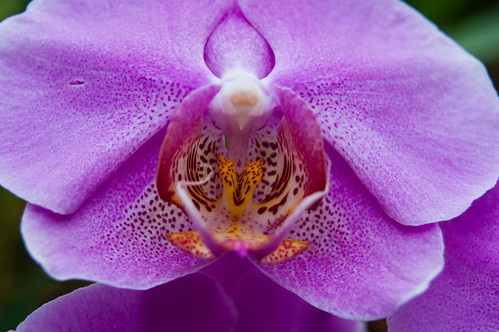 Access all areas 2 - Phalaenopsis orchid