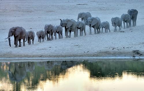elephantsherd elephantsinline