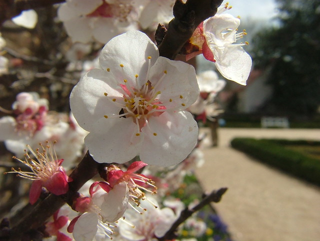 Cherry Blossoms from Flickr via Wylio
