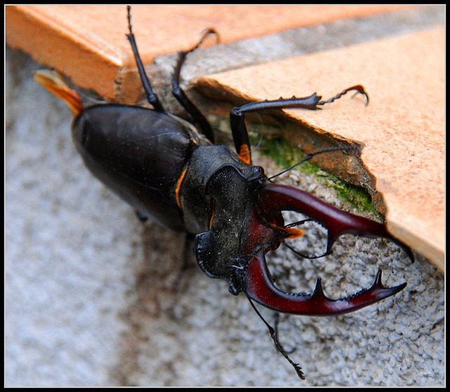 (291) Stag beetle ... | Flickr - Photo Sharing!
