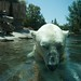 06/15/2008 Up close & personal with polar bear by erewhon