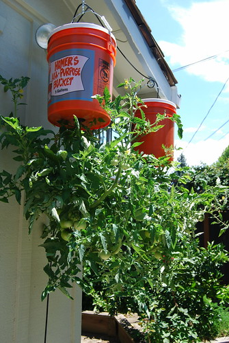 Bill's upside down tomato plants