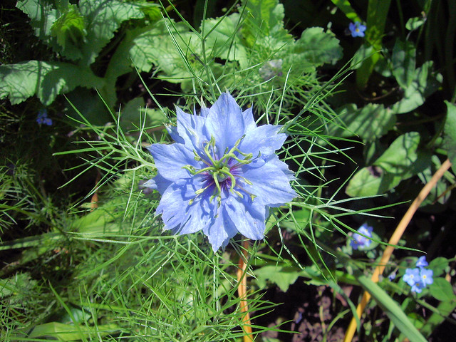 Header of love-in-a-mist