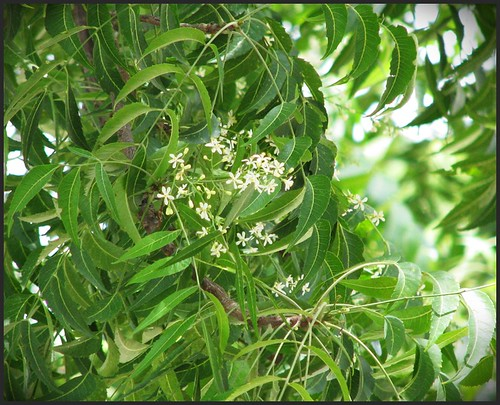 neem tree flowers