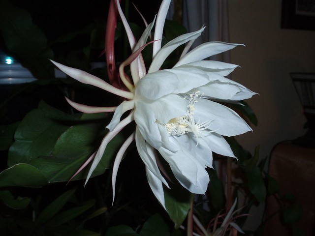 Night Blooming Sirius Blooms Once A Year From About