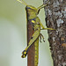Bird Grasshoppers - Photo (c) Jerry Oldenettel, some rights reserved (CC BY-NC-SA)