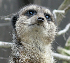 animal, raccoon, mammal, fauna, close-up, whiskers, meerkat, wildlife,