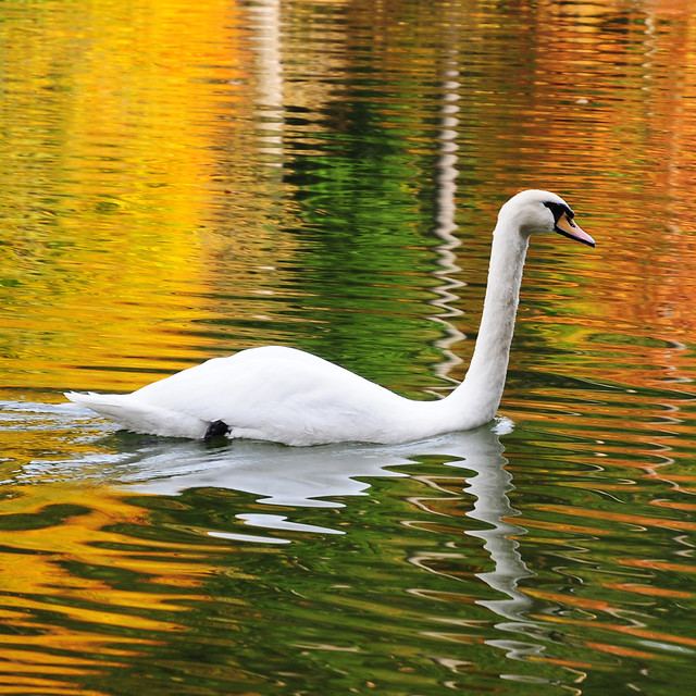 Swan in a golden Lake