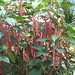 Small photo of Amaranthus caudatus