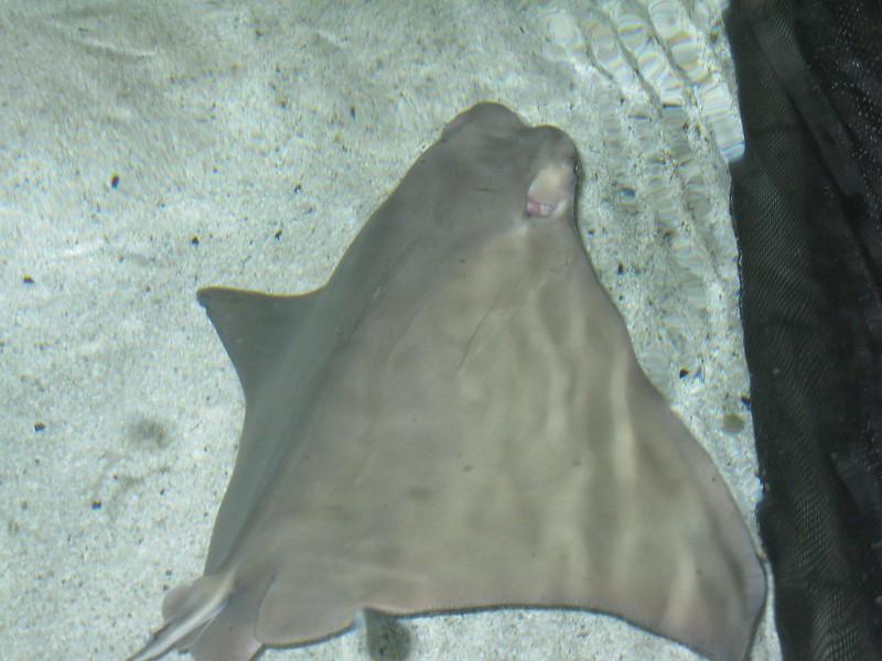 Sting rays at Mystic Aquarium