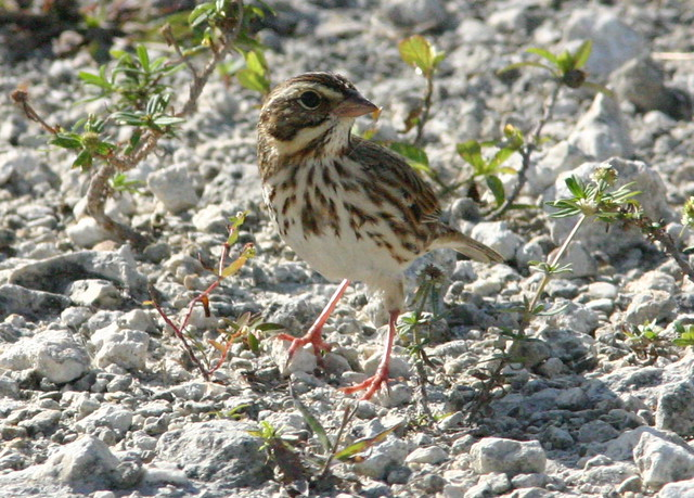 Savannah Sparrow 20081107