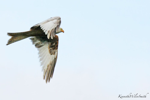White Kite-(Leucistic)
