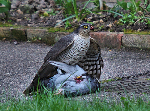 Lunch For A Sparrow Hawk
