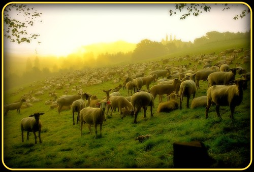 Schafe am Morgen - sheep in the morning
