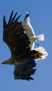 White-tailed Eagle attacked by a Mew Gull