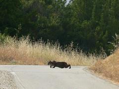 Bobcat sighting