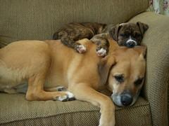 dog breed, animal, puppy, dog, pet, mammal, black mouth cur, bullmastiff,