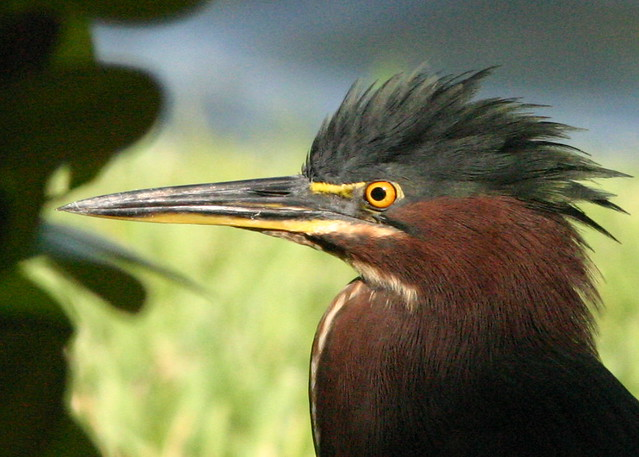 Green Heron Close 20081017