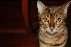 abyssinian(0.0), pixie-bob(0.0), rusty-spotted cat(0.0), nose(1.0), animal(1.0), bengal(1.0), tabby cat(1.0), toyger(1.0), small to medium-sized cats(1.0), savannah(1.0), pet(1.0), european shorthair(1.0), fauna(1.0), close-up(1.0), cat(1.0), carnivoran(1.0), whiskers(1.0), domestic short-haired cat(1.0),