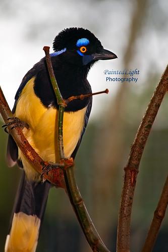 bird southamerica jay bokeh plushcrestedjay eos5d paintedlight mywinners ©paintedlight