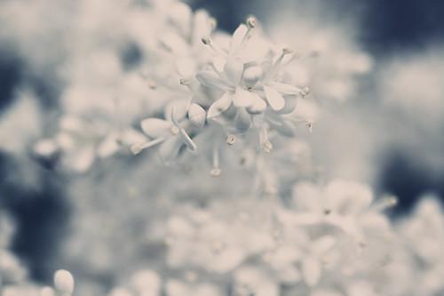 flowers blue white ontario canada flower macro tree yellow closeup burlington canon dof bokeh hamilton buds royalbotanicalgardens alienskin morningdewphotography t1i beyondbokeh ef100l