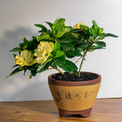 shrub(0.0), produce(0.0), gardenia(0.0), bonsai(0.0), flowerpot(1.0), flower(1.0), yellow(1.0), herb(1.0), houseplant(1.0), floristry(1.0),