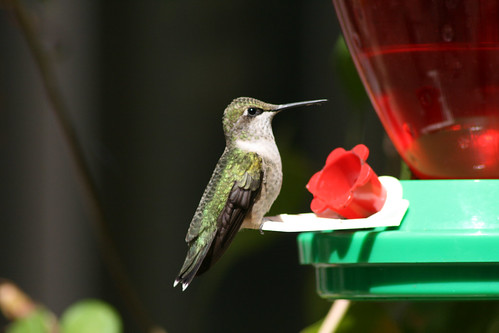Ruby Throated Hummer (Female)