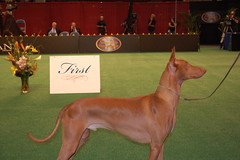 pinscher(0.0), dog sports(1.0), animal sports(1.0), animal(1.0), hound(1.0), pharaoh hound(1.0), dog(1.0), cirneco dell'etna(1.0), sighthound(1.0), dobermann(1.0), sports(1.0), pet(1.0), ibizan hound(1.0), conformation show(1.0), carnivoran(1.0),