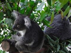 animal, mammal, koala, fauna, wildlife,