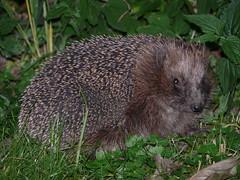 domesticated hedgehog(0.0), fox squirrel(0.0), marmot(0.0), animal(1.0), hedgehog(1.0), erinaceidae(1.0), fauna(1.0), wildlife(1.0),