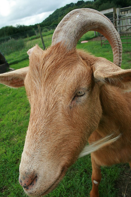 single horned goat Bayreuth
