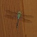 Dragonfly on Overhang