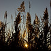Small photo of Reeds Aglow