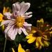 Pink Japanese Anemone / Anemoon & Yellow Perennial Sunflowers / zonnebloemen
