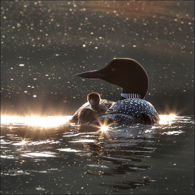 Sunrise ride – one-day old loon
