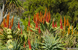 South African Winter Aloes